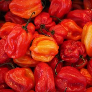 Chili Habenero Red Schärfegrad 9-10